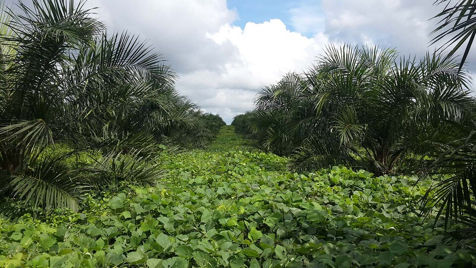 Image of palm oil plantation in Indonesia. A global team led by Nebraska's Patricio Grassini is working on this challenge.