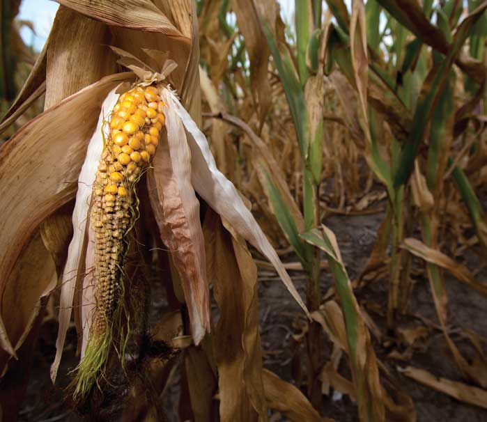 corn in field during drought