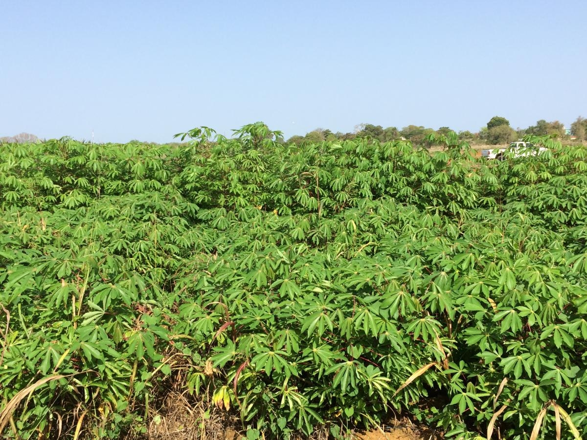 Cassava, a starch-rich root crop that is a primary calorie source for more than 250 million people in sub-Saharan Africa.