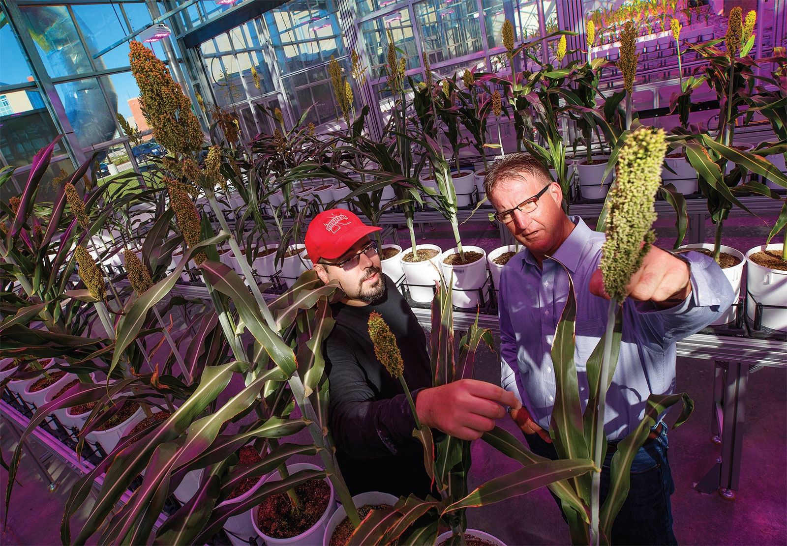 Examining a head of grain sorghum in the Nebraska Innovation Campus Greenhouse.
